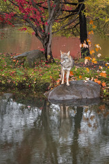 Coyote (Canis latrans) Stands Uncertainly on Rock