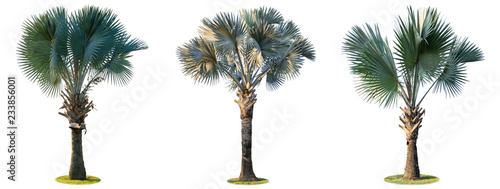 High palm trees (Livistona Rotundifolia or fan palm.) isolated on white background.