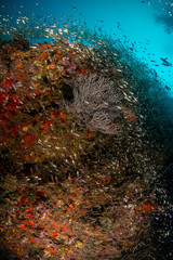 Tropical coral reef with many glass fish