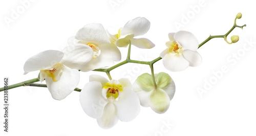White orchid isolated on white - 233888662