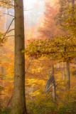 Buchenwald im Herbst - 233897091