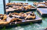 Sea lions at Pier 39 in San Francisco, California - 233897822