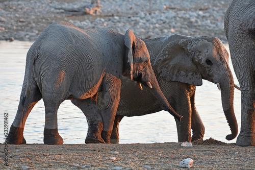 Obraz na płótnie Afrikanische Elefanten (loxodonta africana) am Wasserloch im Etosha Nationalpark in Namibia