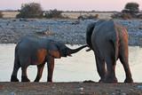 Baby-Elefant am Wasserloch Okaukuejo im Etosha Nationalpark in Namibia