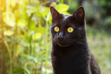 Beautiful bombay black cat portrait with yellow eyes, copy space