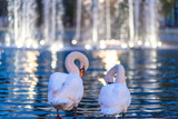 Two graceful white swans are standing on the ledge in the pond and cleaning their plumage - 233927884