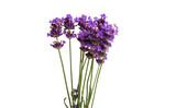 lavender isolated © ksena32