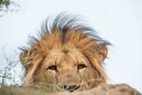 Peeping lion