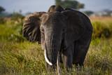 Big elephant in Serengeti national park, Tanzania