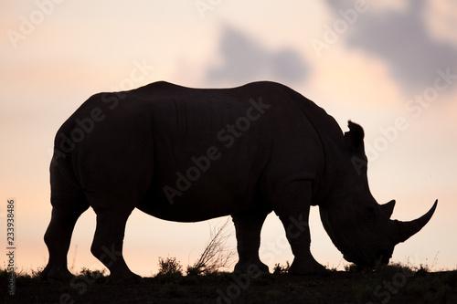 Fototapeta white Rhino