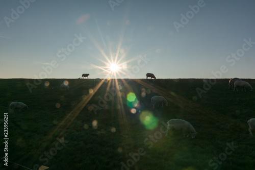 Leinwandbild Motiv Schaf, Deich, Lämmer, Nordsee