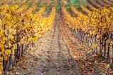 autumn vineyards of Provence