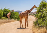Landscape with two reticulated giraffes, giraffa camelopardalis reticulata, eating shrubs on dirt road in northern Kenya - 234002259