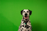 Dalmatian green screen