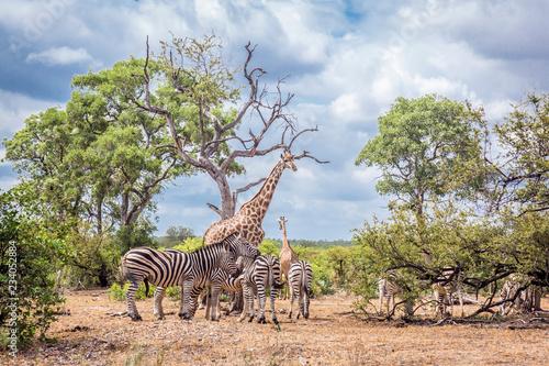 Plains zebra in Kruger National park, South Africa - 234052884