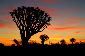 Quiver Tree Forest Sunset - Namibia