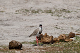 Crowned Lapwing - 234082497