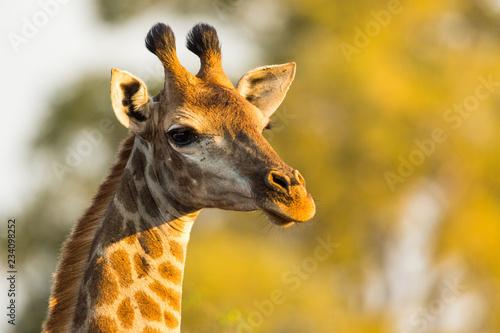 Obraz na płótnie Girafe du Kruger