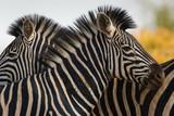 Zèbres du Kruger © YO