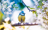 cute little bird tit sitting on a branch of cherries with delicate white flowers in the spring fragrant may garden