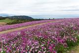 Cosmos flower garden © leungchopan