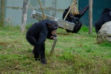 monkey in wild nature, chimpanzee