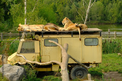 lions on jeep