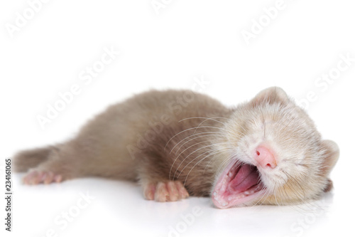 Ferret puppy yawns lying on a white background - 234161065