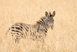 Young zebra in the grass