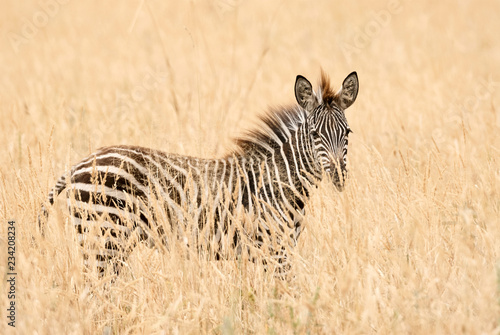 Young zebra in the grass - 234208234