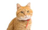 ginger cat isolated © ksena32