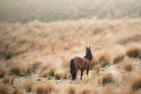 An elegant wild horse roaming in the tussock in the Kaimanawa mountain ranges, Central Plateau, New Zealand © Janice