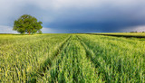 Spring wheat field landscape with path - 234228673