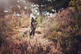 Portrait Hund Chihuahua in mehlinger heide im sommer bei sonnenschein in der natur © gismo2015