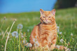 Leinwanddruck Bild - Portrait of a little kitten in the dandelion field among blowballs. Cat enjoying spring