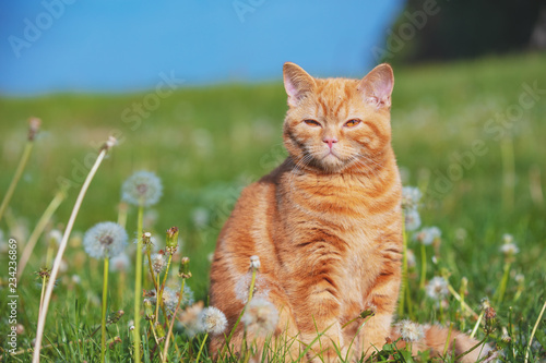 Portrait of a little kitten in the dandelion field among blowballs. Cat enjoying spring - 234236869