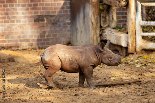 Fototapeta Rhino Baby