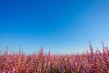 Salvia sclarea sage field blooming in Provence France