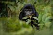 Leinwanddruck Bild - Wild mountain gorilla in the nature habitat. Very rare and endangered animal close up. African wildlife.Big and charismatic creature. Mountain gorillas. Gorilla beringei beringei.
