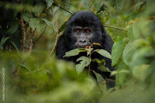 Leinwanddruck Bild Wild mountain gorilla in the nature habitat. Very rare and endangered animal close up. African wildlife.Big and charismatic creature. Mountain gorillas. Gorilla beringei beringei.