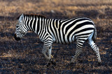 Zebra walking over a burned field at  Ngorongoro Conservation Area, Tanzania © Ivan