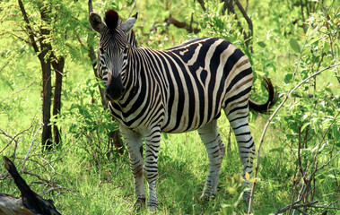 Zebra in der Wildnis