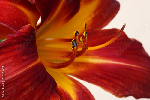Daylily flowers dark red isolated on beige background. - 234329675