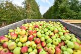 Ernte von Äpfeln auf einer Plantage - viele Äpfel in einer Kiste für den Transport // Harvesting apples on a plantation - many apples in a box for transport