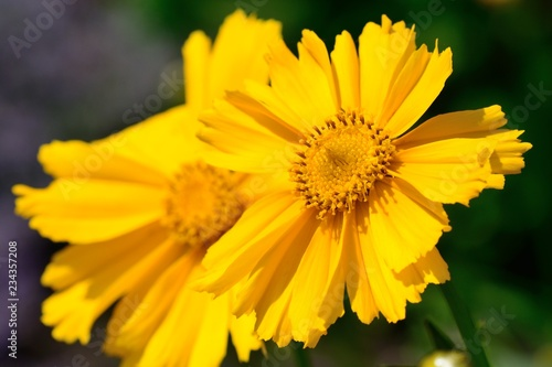 Close up of yellow flowers in bloom - 234357208