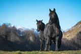 chevaux de merens © Marc Andreu