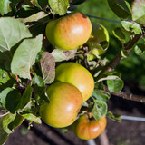 Old variety green apple trees in the orchard -  Golden Delicious.