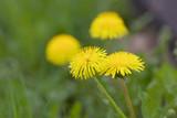 dandelion in grass © Elya