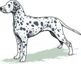 dog, dalmatian breed