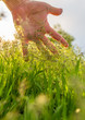 Green grass in hand in nature in spring